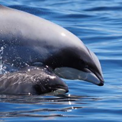 Mother and calf, Hector\'s Dolphins - Photo: Steve Dawson