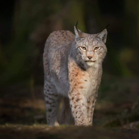 Luchs - Foto: Biopshere Expeditions