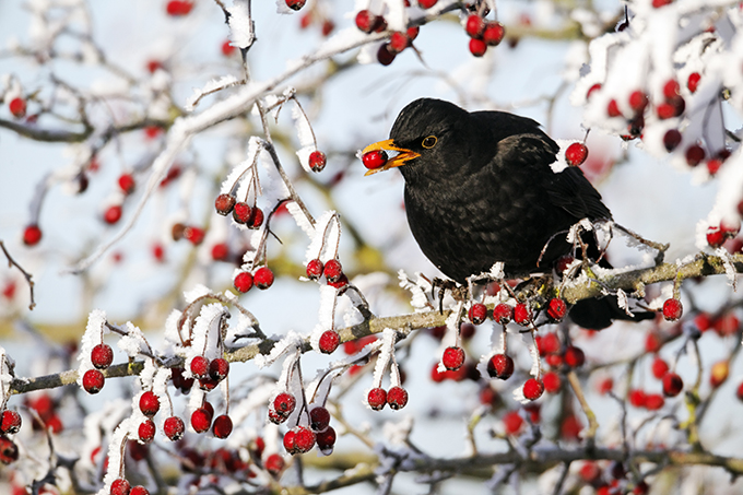 Amsel - Foto: Mike Lane, Fotolia