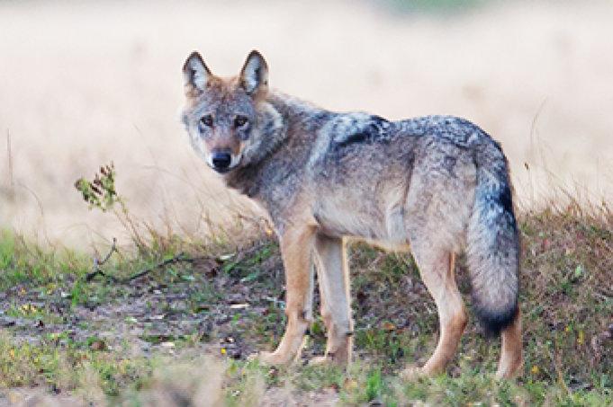 Wolf in der Lüneburger Heide - Foto: Jürgen Borris
