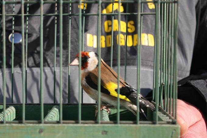 Beschlagnahmter Stieglitz - Foto: Komitee gegen den Vogelmord