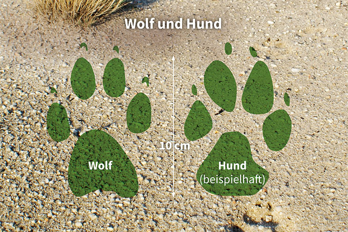 Unterschied Zwischen Wolf Und Hund