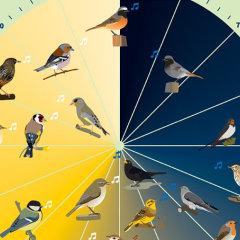 Welcher Vogel Singt Wann Vogeluhr